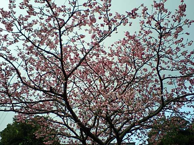 桜@沖縄 2010/02/03